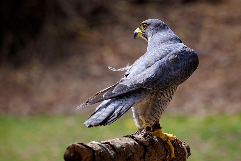 © 2013 Sallie Bernstein - Peregrine falcon
