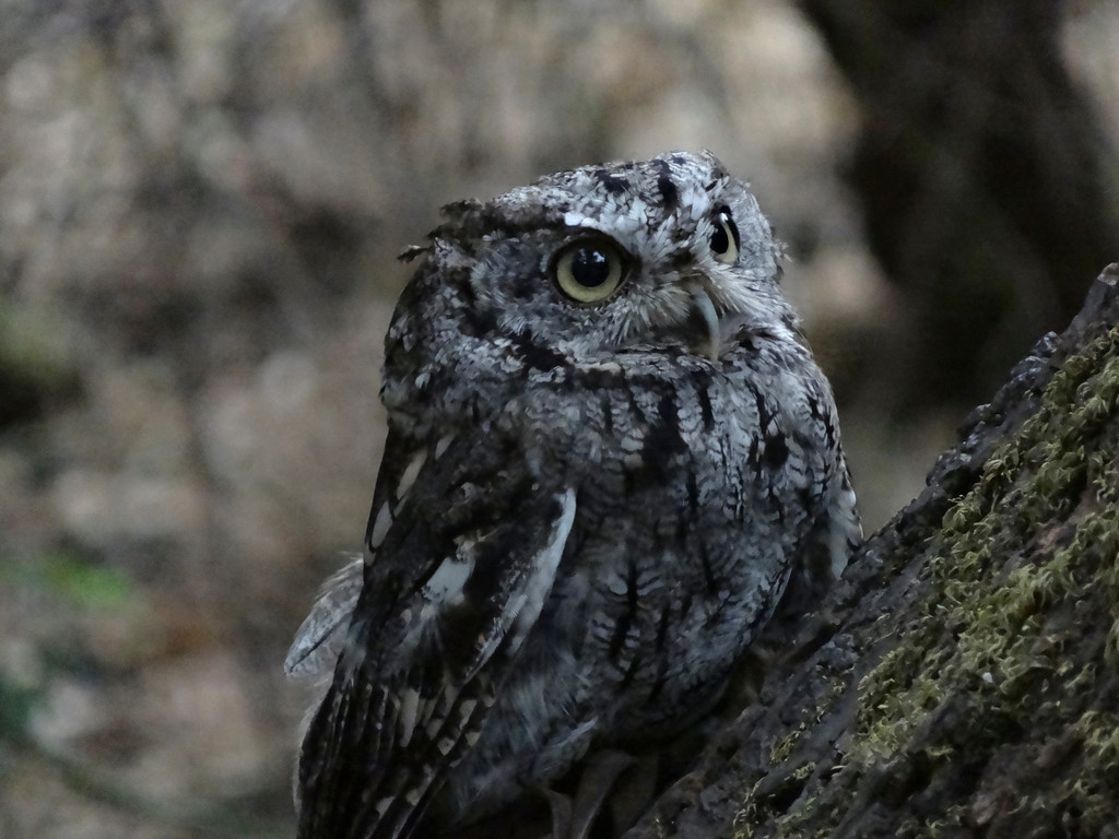 """© 2013 Bella Robinson - Screech owl<br /> <br /> """"I fell in love with this owl's facial expressions.  One minute he looked happy, the next he look scared.  It was hard to photograph him  because he blended into the tree so well.  I just wanted to take this little guy home with me!"""""""