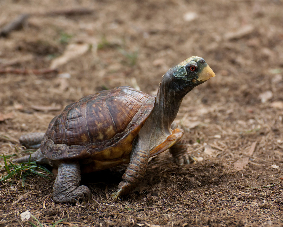 © 2013 Melanie Lewert - Box turtle<br /> <br /> I love Sulphur Creek; the opportunity to get up close to the animals makes this a place not to be missed.