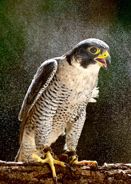 © 2013 Austin Brewin - Peregrine falcon