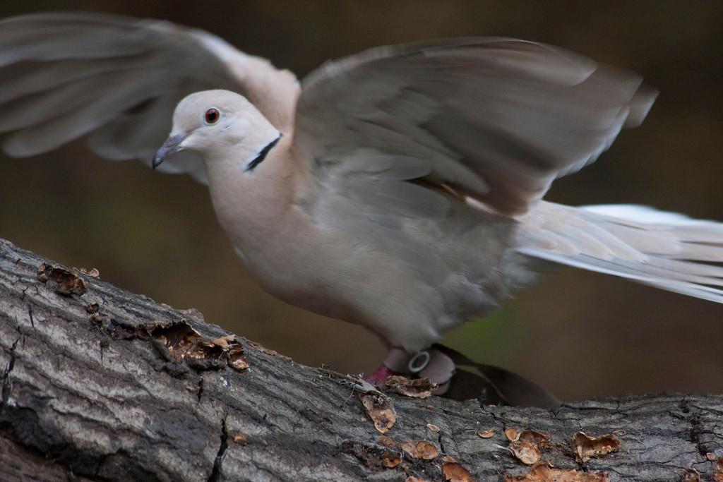 © 2013 Tom Stretch - Ring-neck dove