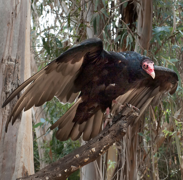 © 2013 Larry Raphael - Turkey vulture