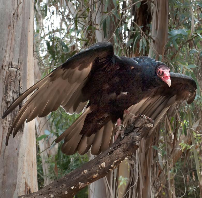 © 2013 Larry Raphael - Turkey vulture