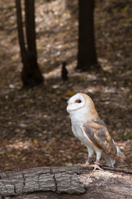 © 2013 Paul Veilleux - Barn owl<br /> <br /> Barn owl is trying to find out where that threatening noise is coming from. Lots of negative space between the owl's gaze and the upper-left corner of the frame to provide a sense of balance and distance to the owl.