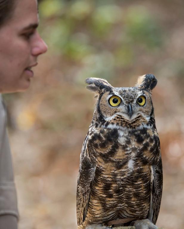 © 2013 Richard Finn - Great horned owl