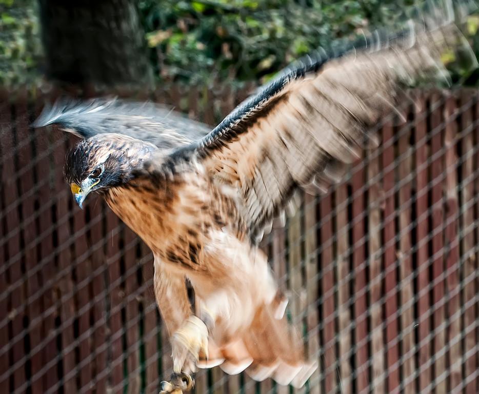 © 2013 Jim Harais - Red-tailed hawk