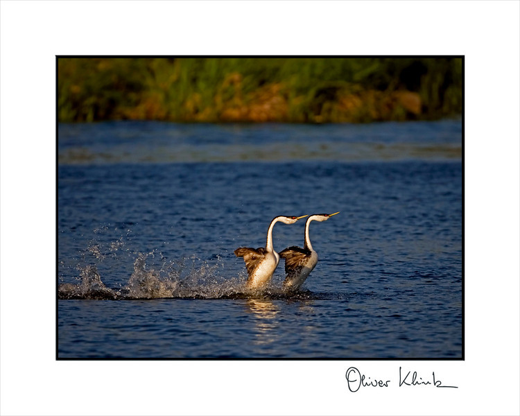 Western grebes courtshipping at sunset.
