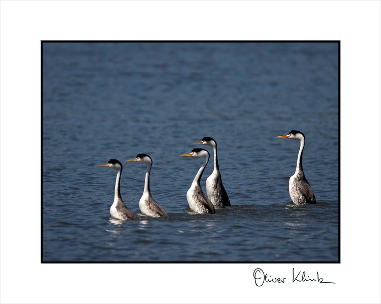 5 Clark's grebes ready for the courtship ritual.