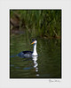 Clark's Grebe:<br /> Clark's black crown is limited, with white around the eyes, and it has a brighter yellow beak than the Western grebe.