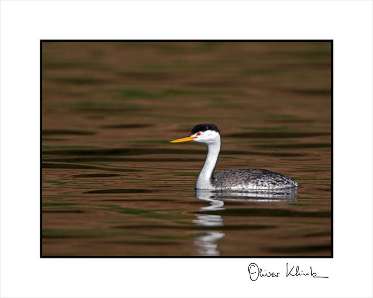 Clark grebe looking for a mate.