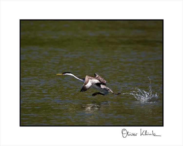 Western grebe taking off. Very clumpsy flyer.