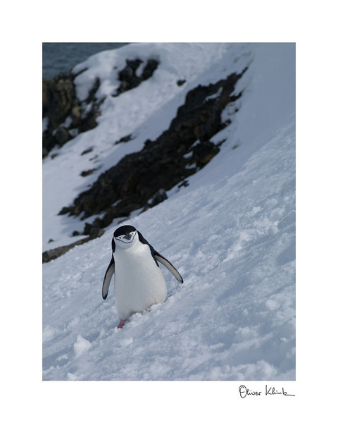 "Title: 	On My Way Home<br /> Location:	Antarctica<br /> Size (Framed):	11""x9""<br /> Price:	$90<br /> Description:	I lost track of time. Found myself walking home alone. No problem for a chinstrap penguin."