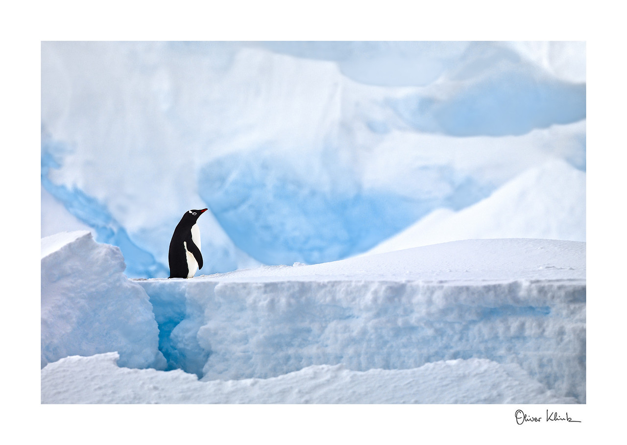 "Title: 	I am Gentoo<br /> Location:	Antarctica<br /> Size (Framed):	31""x42""<br /> Price:	$800<br /> Description:	I am new to this place. Where are my friends? It is just a resting place."