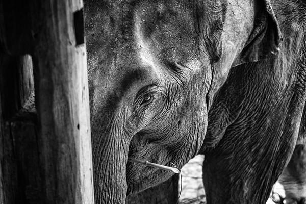 Elephant - Luang Prabang, Laos
