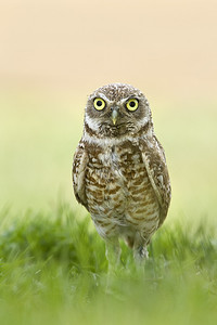 Copyright Oliver Klink  Burrowing Owl