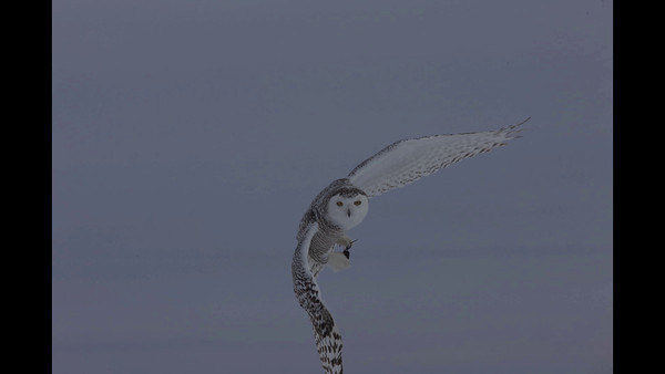 Snowy Owls in Flight by Oliver Klink - Copyright 2010