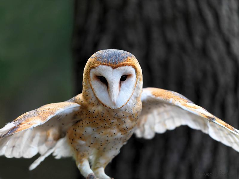 SCNC_015; Barn Owl