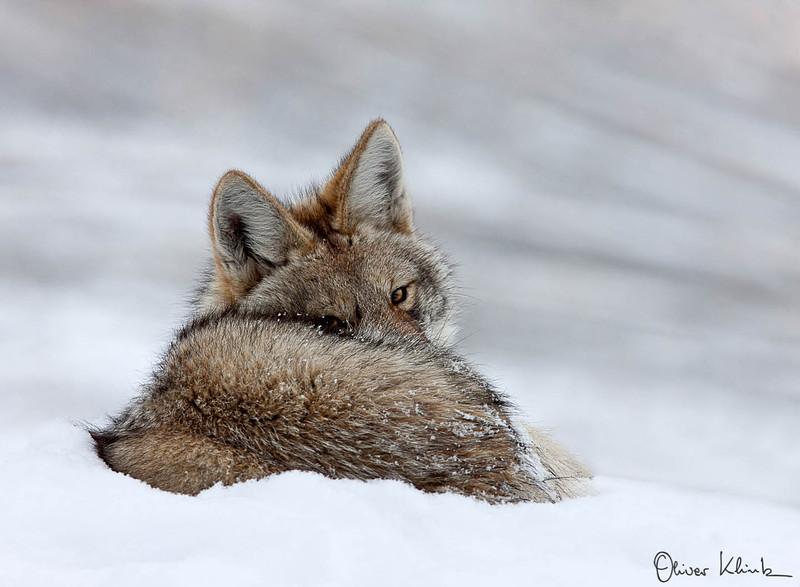 COY_001; Coyote #1