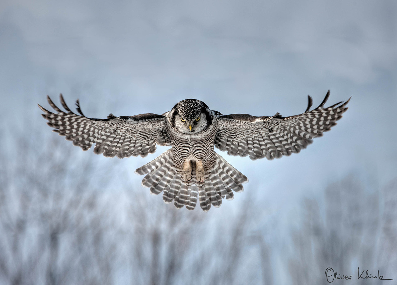 BD_1016: Northern Hawk Owl