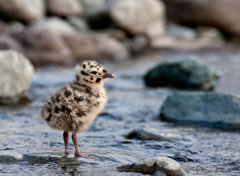 BD_1015: Gull Chick