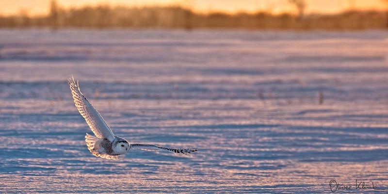 BD_1018: Snowy Owl #2