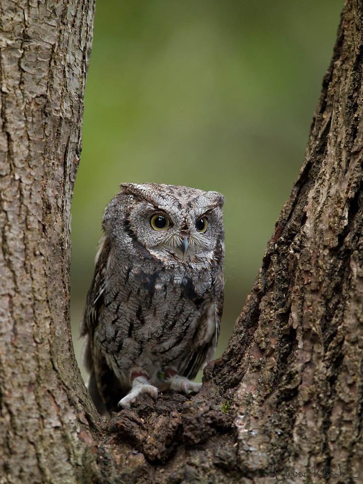 SCNC_013; Screech Owl #2