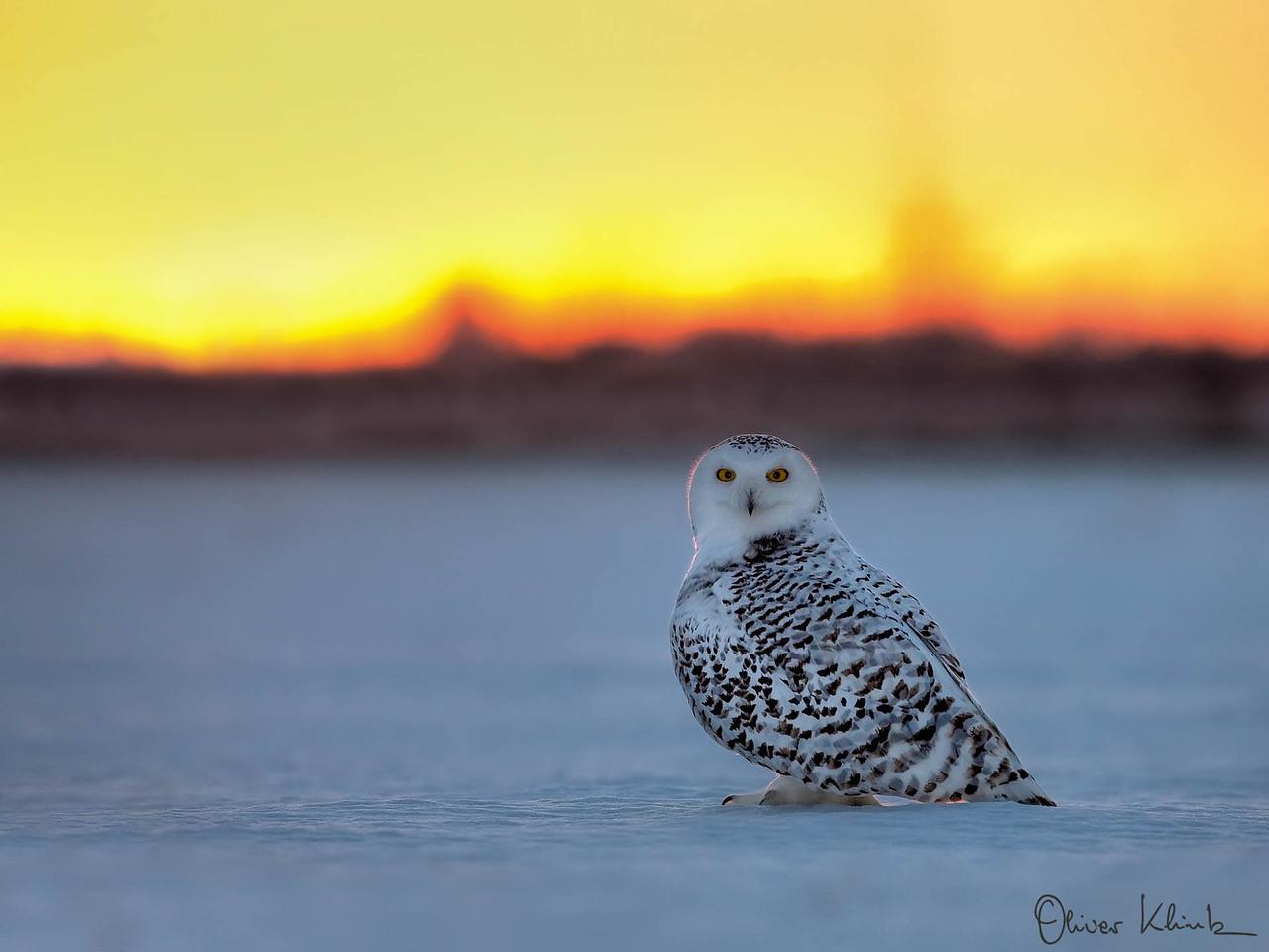 BD_1017: Snowy Owl #1
