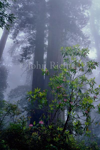 Rhododendron Mist
