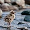 22. Gull Chick