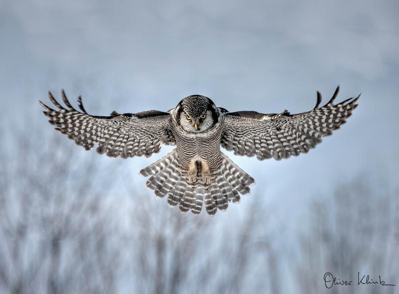 5. Northern Hawk Owl