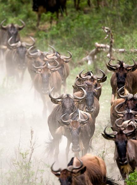 9. Wildebeest Migration