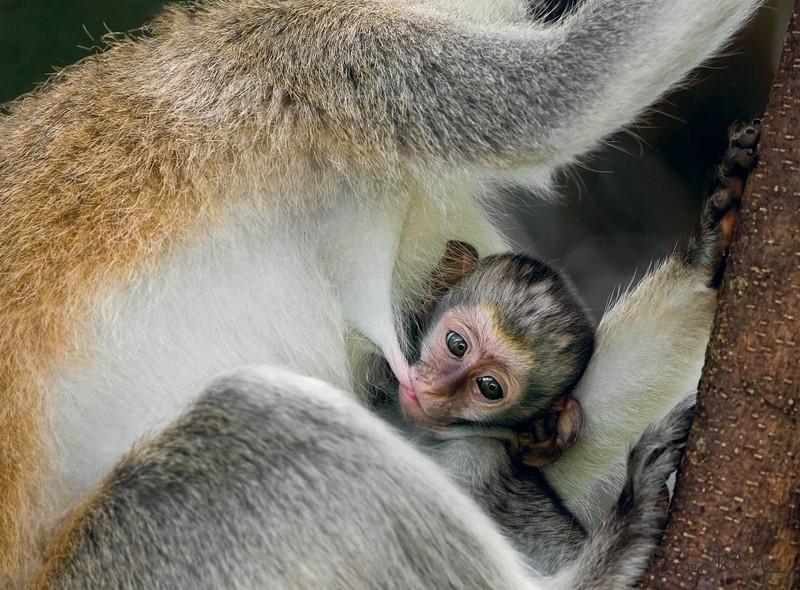 10. Vervet Monkey