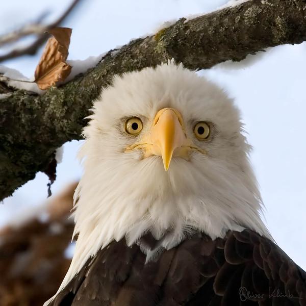 1. Eagle Portrait