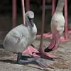 24. Baby Flamingo