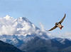 21. Puffin in Flight