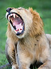 11. Roaring Lion