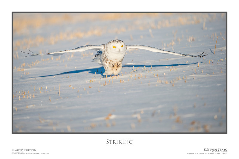 A Snowy Owl gets riding to strike an unsuspecting mouse near Beiseker, Alberta.