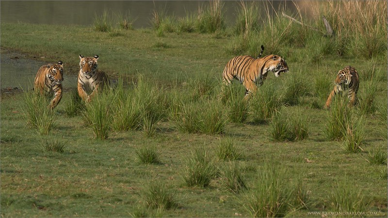 """#india #nature #raymond #prints<br /> <br /> A Family of 4 Royal Bengal Tigers<br /> <br /> These beauties will be ready for photos on my next tour June 9th, 2015... Join me if you wish!<br /> <br /> We were so fortunate to get ahead of these animals as they were running down across the waterfront. Enjoy nature and wild animals at their best!<br /> <br /> A photographers dream come true! <br /> <br /> Please respect and preserve our superb nature.<br /> <br /> Thanks for looking, best wishes!<br /> <br /> Raymond<br /> <br /> Prints (High Definition) are available - ray@raymonfbarlow.com<br /> <a href=""""http://raymondbarlow.smugmug.com/Limited-Edtion-Prints/"""">http://raymondbarlow.smugmug.com/Limited-Edtion-Prints/</a>"""