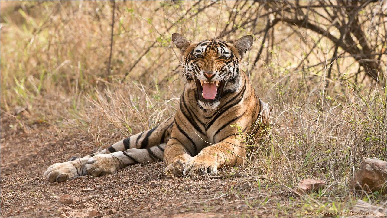 Royal Bengal Tiger Snarl<br /> RJB India Photo Tours<br /> <br /> ray@raymondbarlow.com<br /> 1/640s f/8.0 at 360.0mm iso800