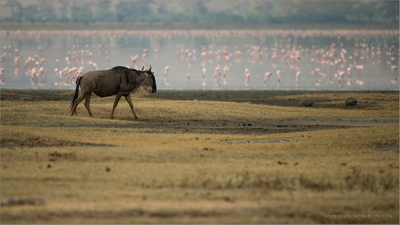 Wildebeest and Flamingos<br /> RJB Tanzania, Africa Tours<br /> Nikon D800 ,Nikkor 200-400mm f/4G ED-IF AF-S VR<br /> 1/4000s f/4.0 at 400.0mm iso400