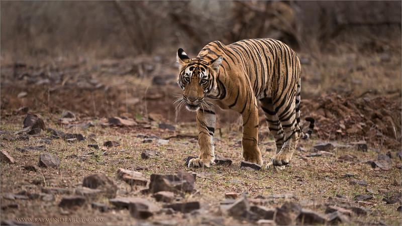 "Royal Bengal Tiger Hunting<br /> RJB India Photo Tours<br /> <br /> <a href=""http://raymondbarlowworkshops.blogspot.ca/2014/06/raymond-barlows-bengal-tiger-tour.html"">http://raymondbarlowworkshops.blogspot.ca/2014/06/raymond-barlows-bengal-tiger-tour.html</a><br /> 1/2000s f/4.0 at 300.0mm iso1600"