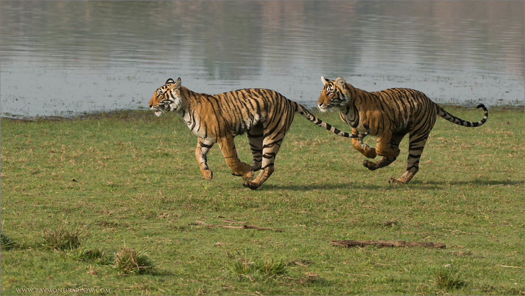 #india #nature #raymond #prints  <br /> <br /> Tiger Siblings on the Run!!<br /> <br /> Hosting this recent tour to India was a pure blast!  Such awesome guests, so much fun!<br /> <br /> Special thanks to all my friends in India who follow my work, and enjoy the gift of nature.  We all need to appreciate, and protect our natural world before its too late.<br /> <br /> Respect is everything, please treat all wild creatures with kindness, so they will continue to provide a very special entertainment for all future generations to come.<br /> <br /> High definition prints are available - just email me, ray@raymondbarlow.com<br /> <br /> My next tour in June is ready to go... would you like to Join us?<br /> <br /> Raymond