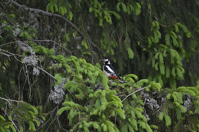 Spruce (Picea abies) and Great spotted woodpecker (Dendrocopos major)