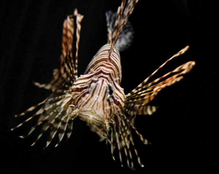 Lionfish NAQU