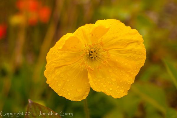 1273 - Poppies.