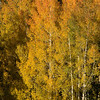 1055 - Aspen fall. Wasatch Mountains, Utah.