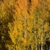 1055 - Aspen fall. Wasatch Mountains, Utah.