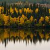 1288 - Fall Aspens.  Alaska.