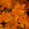 1048 - Maple leaves in fall.  Wastach Mountains, Utah.