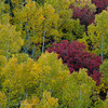 1058 - Aspen and Maples.  Wasatch Mountains, Utah.